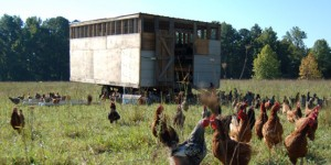 chicken-tractor-layers-field-1