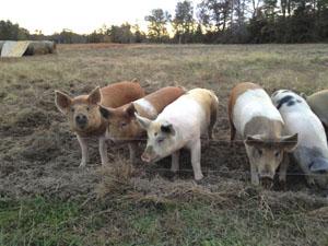 harmony-hill-farm-pigs-1